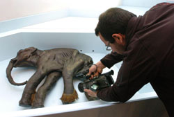 A baby mammoth from 40,000 years ago found in Siberia in 1977 is filmed while on display in Budapest in March 2008. A Japanese breakthrough in '08 brings the prospect of cloning such extinct beasts much closer. AP PHOTO