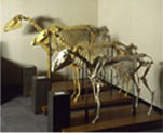 Native equus fossil reconstruction, Negishi Equine Museum