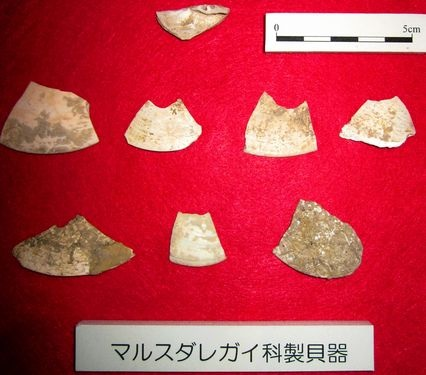 These 20,000 -year-old shell artifacts on display in Naha, have chips at their tops and are believed to have served as blades (Shunsuke Makamura)