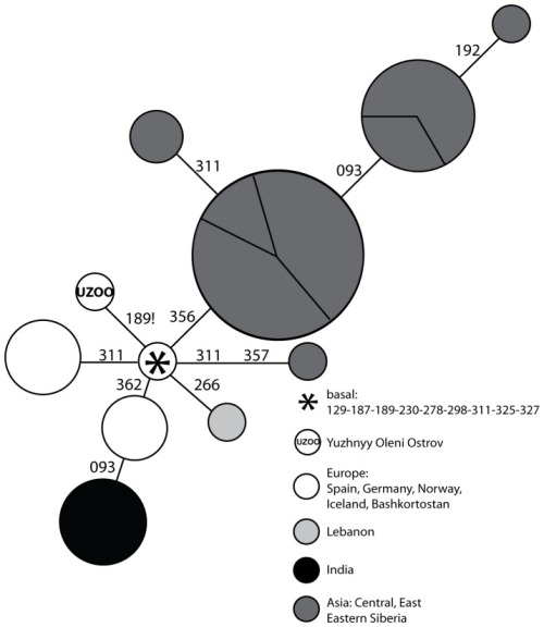 Network representation of C1 HVR-I sequences in Mesolithic Yuzhnyy Oleni Ostrov and modern Eurasian populations. Each haplotype is represented by a circle, the area of which is proportional to the number of individuals that were found to carry this haplotype in the literature. The haplotypes are colour-coded according to their geographical location: India (black), Asia (dark grey), Lebanon (light grey), and Europe (white). Each section of the circles represents individuals sampled from a same population. Mutations are all substitutions and are reported according to the Reconstructed Sapiens Reference Sequence minus 16000. The star represents the hypervariable region-I haplotype that characterizes the root of the C1 clade. The haplotype labeled 'UZOO' is the hypervariable region-I haplotype sequenced from individuals of the archaeological site of Yuzhnyy Oleni Ostrov. All the other haplotypes were found in modern populations.