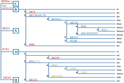 Y-chromosome phylogenetic tree