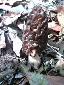 Morel fungi