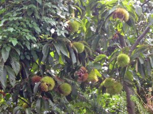 Japanese Chestnuts クリ(栗, Castanea crenata)