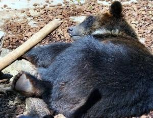 A sleeping Japanese black bear. Ursus thibetanus japonicus.