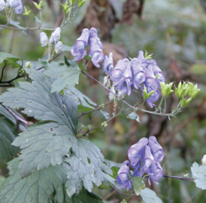 Wolfsbane or torikabi (Aconitum japonicum)