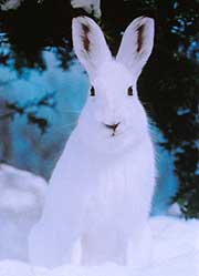 The Japanese hare or Nihon nousagi (Lepus brachyurus) Photo: Rowan Hooper, Japan Times