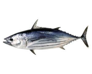 Arctic bonito or Skipjack tuna (Katsuwonus pelamis) Source