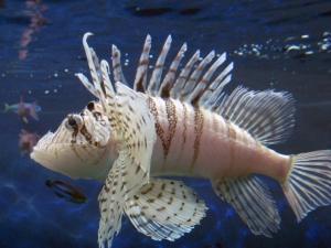 Japanese Lionfish, Luna Lion Fish or Pterois lunulata