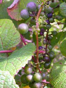Crimson glory vine, and ヤマブドウ yama-budo (Vitis coignetiae)